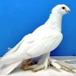 Белый двухчубый